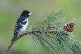 Rose breasted grosbeak on pines