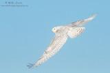 Snowy owl flys away