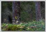 Trunck of spruce