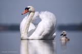 Mute Swan - Knobbelzwaam