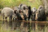 Wild zwijn -Wild boar