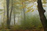 Beukenbos, herfst - Beech forest, autumn