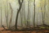 Beukenbos, herfstmist - Beech forest, autumnfog