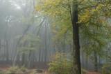 Beuk, herfst - Beech, autumn