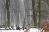 Beukenbos - Beech forest winter 1