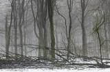 Beukenbos - Beech forest winter 2