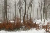 Beukenbos - Beech forest winter 3