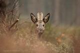 Reebok - Roe Deer 2