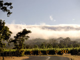 Road thru vineyards with fog bank rolling in