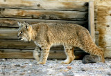 Tecopa young bobcat.jpg