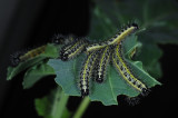 Pieris-brassicae_late-instars.jpg