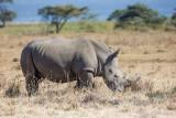 1DX_8699 - White Rhino