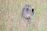 1DX11381 - Cheetah in the grass