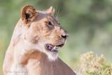 1DX_7645 - Lion