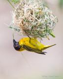 1DX12138 - Weaver building a nest