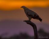1DX_7828 - Eagle at dusk