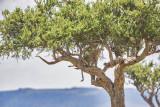 1DX11938 - Leopard in a tree