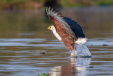 1DX_9516  - African Fish Eagle