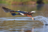 1DX_9517  - African Fish Eagle