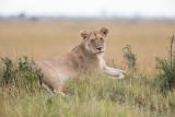 1DX11268 - Lion