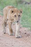 1DX11104 - Lion cub