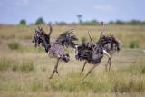 1DX12233 - Running Ostriches