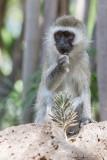 1DX_4058 - Black Faced Velvet Monkey