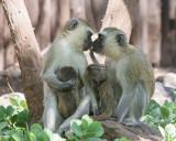 1DX_4156 - Black Faced Velvet Monkeys