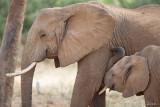 1DX_6452 - Baby elephant nursing