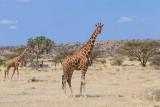M4_11298 - Reticulated Giraffes