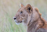 1DX11186 - Young Lion