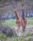 1DX_8196 - Rothschild Giraffes