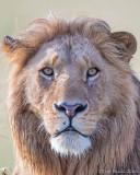 1DX_10065 - Lion up close