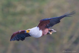 1DX_9181 - African Fish Eagle