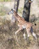 1DX_8774 - Young Rothschild Giraffe