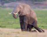 1DX_4420 - Elephant