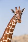 1DX_7293 - Reticulated Giraffe