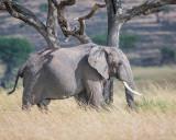 1DX11746 - Elephant in the Mara