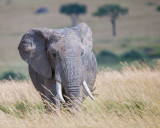 1DX11758 - Elephant