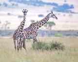 1DX11922 - Masai Giraffes in the Mara