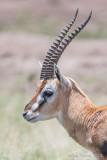 1DX12093 - Thompson Gazelle
