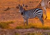 1DX_5923 - Backlit Zebra at Sunrise