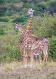 1DX10816 - The hat trick; three Maasai giraffes