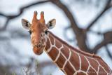 1DX_6728 - Reticulated Giraffe