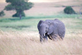 1DX_11765 - Elephant in high grass