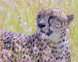 1DX_11869 - Cheetah in high grass