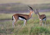 1DX_6008 - Thompson Gazelles