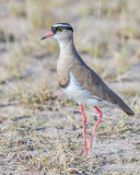 1DX_4823 - Crowned Plover