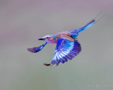 1DX_12071  - Lilac Breasted Roller