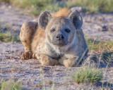 1DX_4639 - Hyena